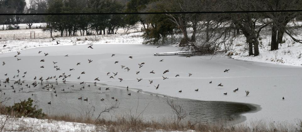 A flock of waterfowl are shown on a partially frozen stock tank on U.S. 183 just north of Lampasas.